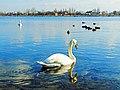 Лебеді на озері Ріпне.jpg