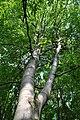Микулинецькі буки - дерево № 5 - 15056880.jpg