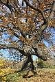 Споменик природе - стабло храста цера у Доњој Црнући крај Горњег Милановца 07.jpg