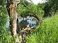 Щекино, дерево у пруда 3 (6985105431).jpg