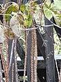 Элеутеррококк колючий осенью на даче ф1.jpg