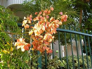 Koelreuteria bipinnata - koeltreuteia bipinnata yellow golden leaves
