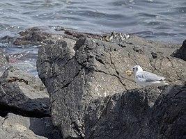 رفتار مرغان دریایی نوروزی یا یاعو در کشور عمان، شهر مسقط، ساحل دریای عمان - عکس مصطفی معراجی 14.jpg