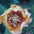 صورة لزهرة الصبار.jpg