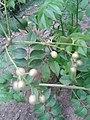 ஆனாப் பழம் 3(Clausena dentata).jpg