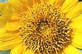 ทานตะวัน Helianthus annuus L FAMILY ASTERACEAE (1).jpg