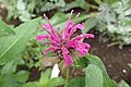 モナルダ パープル・ベルガモット (Monarda didyma 'Purple') (19104814335).jpg
