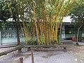 七弦竹 Bambusa multiplex cv. 'alphonse karr' - panoramio.jpg