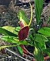 三尖蘭屬 Masdevallia bicolor -香港沙田洋蘭展 Shatin Orchid Show, Hong Kong- (30662253514).jpg