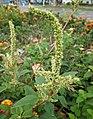 刺莧 Amaranthus spinosus -高雄愛河 Kaohsiung, Taiwan- (40923892252).jpg