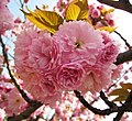日本晚櫻 Cerasus serrulata v lannesiana -上海辰山植物園 Shanghai Chenshan Botanical Garden- (17245049641).jpg