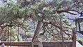 泰山 五大夫松 - panoramio.jpg