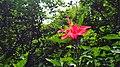 福州金鸡山花卉-红扶桑2.jpg