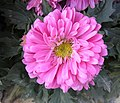 翠菊 Callistephus chinensis -香港房委樂富花展 Lok Fu Flower Show, Hong Kong- (9193427974).jpg