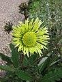 聯苞菊屬 Berkheya radula -哥本哈根大學植物園 Copenhagen University Botanical Garden- (36816162231).jpg