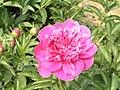 芍藥-銀針繡紅袍 Paeonia lactiflora 'Silver Needle embroidering Red Gown' -瀋陽植物園 Shenyang Botanical Garden, China- (12403733965).jpg