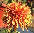 菊花-大紅寶石 Chrysanthemum morifolium 'Big Ruby' -中山小欖菊花會 Xiaolan Chrysanthemum Show, China- (11962011146).jpg
