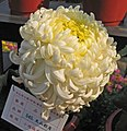 菊花-天山彩月 Chrysanthemum morifolium 'Tianshan Colourful Moon' -中山小欖菊花會 Xiaolan Chrysanthemum Show, China- (11962004786).jpg