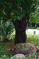 重陽木 Bischofia javanica Blume. - panoramio.jpg