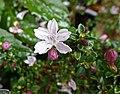 野丁香 Leptodermis potanini -香港花展 Hong Kong Flower Show- (39787220020).jpg