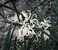 銀樺屬 Grevillea australis -澳洲塔斯曼尼亞 Mt Amos, Tasmania- (10855767176).jpg