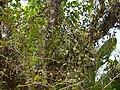 ... epiphytes (30456604154).jpg