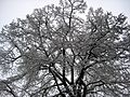 000001 Image Baum im Schnee Lupus in Saxonia.jpg