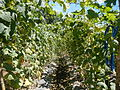 0885jfSan Ildefonso Remedios Plants Royal Skies Roadsfvf 04.JPG