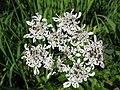 0972 - Obertraun-Dachstein - Flies on flowers.JPG
