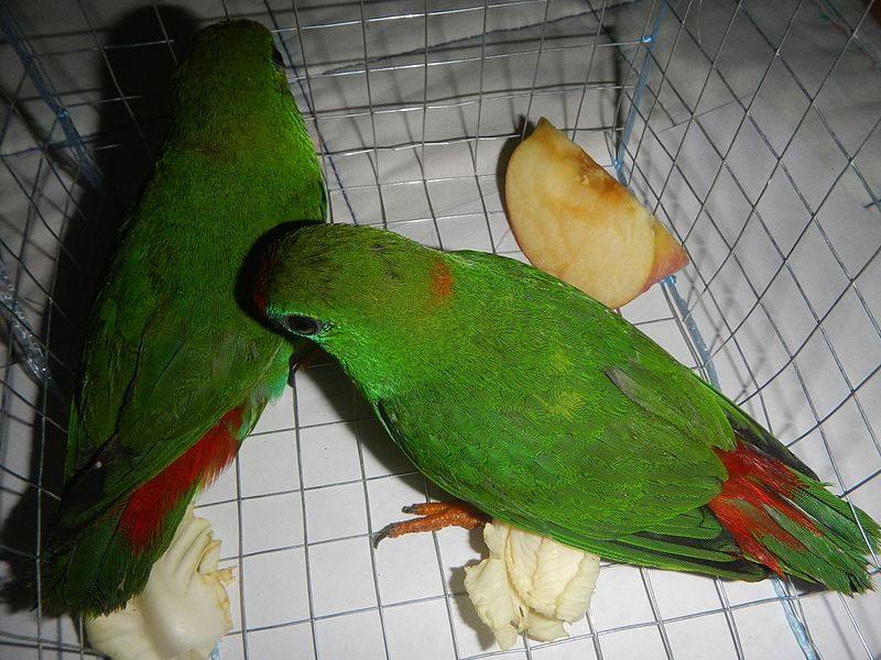 File:09949jfPhilippine Hanging Parrot Bulacanfvf 02.jpg