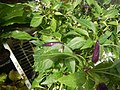 0998Ornamental plants in the Philippines 07.jpg