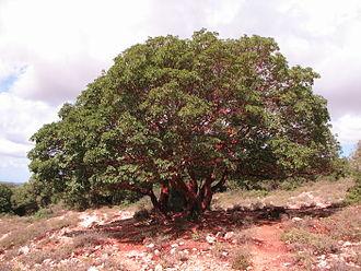 Arbutus andrachne - Image: 10.10.09 09 Arbutus near Matat