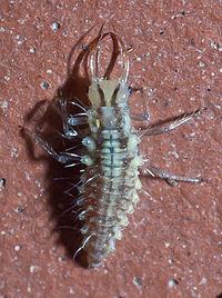 Bộ sưu tập côn trùng 2 - Page 24 200px-2010_-_08_-_10_Bastavales_5
