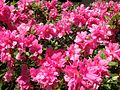 2014-05-17 11 46 14 Pink-flowered Azalea blossoms along Terrace Boulevard in Ewing, New Jersey.JPG