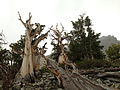 2014-09-15 14 01 24 Bristlecone Pines along the Bristlecone Trail in Great Basin National Park, Nevada.JPG