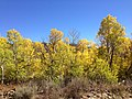 2014-10-04 13 22 14 View of Aspens during autumn leaf coloration from Charleston-Jarbidge Road (Elko County Route 748) in Copper Basin about 8.0 miles north of Charleston, Nevada.jpg