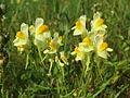 20140907Linaria vulgaris2.jpg