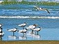 2016-03-18 Thalasseus albididorsalis, Kartong beach, Gambia 1.jpg