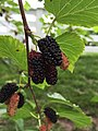 2017-05-30 15 24 57 Red Mulberry fruit at the intersection of Lees Corner Road (Virginia State Secondary Route 645) and Old Dairy Road in the Franklin Farm section of Oak Hill, Fairfax County, Virginia.jpg