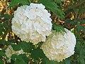 2018-05-13 (130) Hydrangea (hortensia) at Bichlhäusl in Frankenfels, Austria.jpg