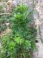 2018-06 - Aconitum napellus (Prats-de-Mollo) 2.jpg