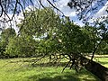 2019-05-26 16 56 41 A Cherry tree broken during a storm, with all the lower leaves having been eaten by deer, along a walking path in the Franklin Glen section of Chantilly, Fairfax County, Virginia.jpg