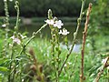 20200906Verbena officinalis1.jpg
