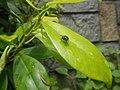 4733Common houseflies in Philippines 24.jpg