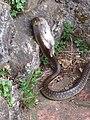 4 Aesculapian Snake in Tuscany Italy..jpg