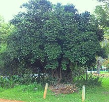 5 - small Canthium inerme tree - Cape Town.jpg