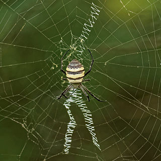 <i>Argiope aemula</i> Species of spider