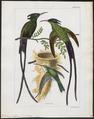 Aïthurus polytmus - 1820-1860 - Print - Iconographia Zoologica - Special Collections University of Amsterdam - UBA01 IZ19100227.tif