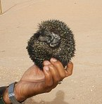 AB003 Hedgehog from Rajasthan.jpg