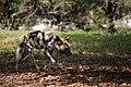 AFRICAN WILD DOG (13969636363).jpg